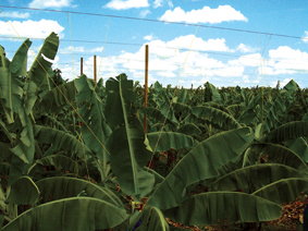These systems are used in banana plantations t...