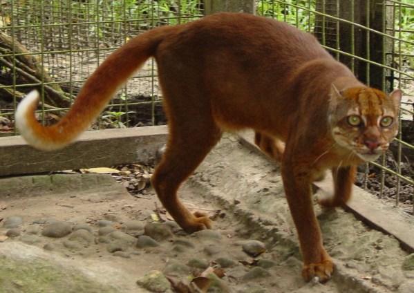 Kucing Merah Terancam Punah