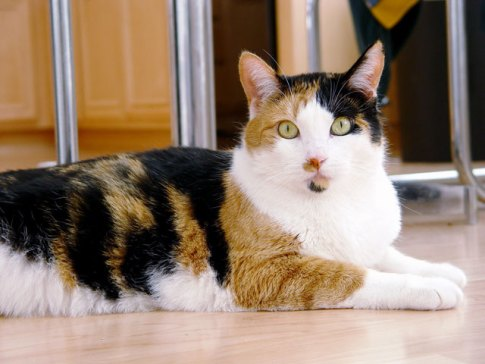 Risultati immagini per tricolor cat