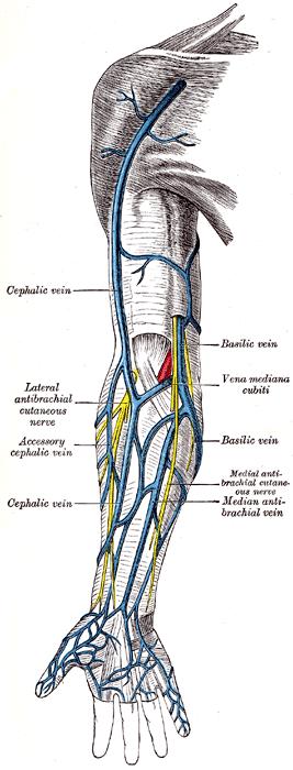 Superficial veins of the upper limb.