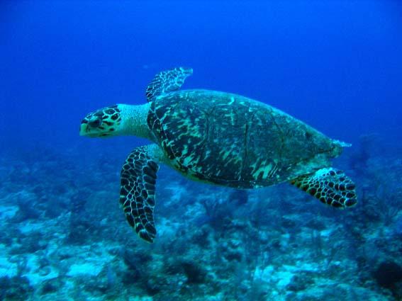 File:Hawksbill Turtle.jpg