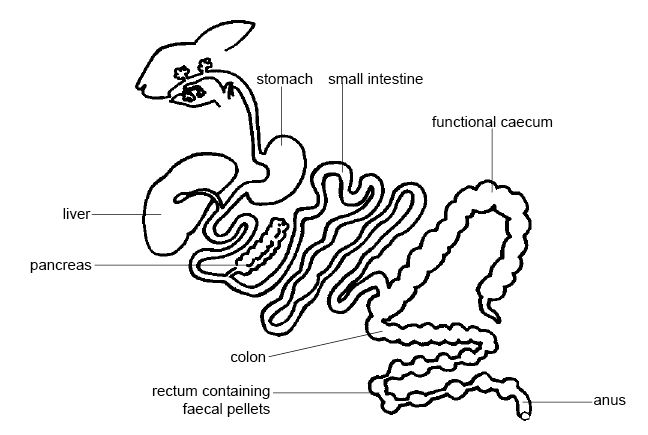 Anatomy and Physiology of Animals/The Gut and Digestion