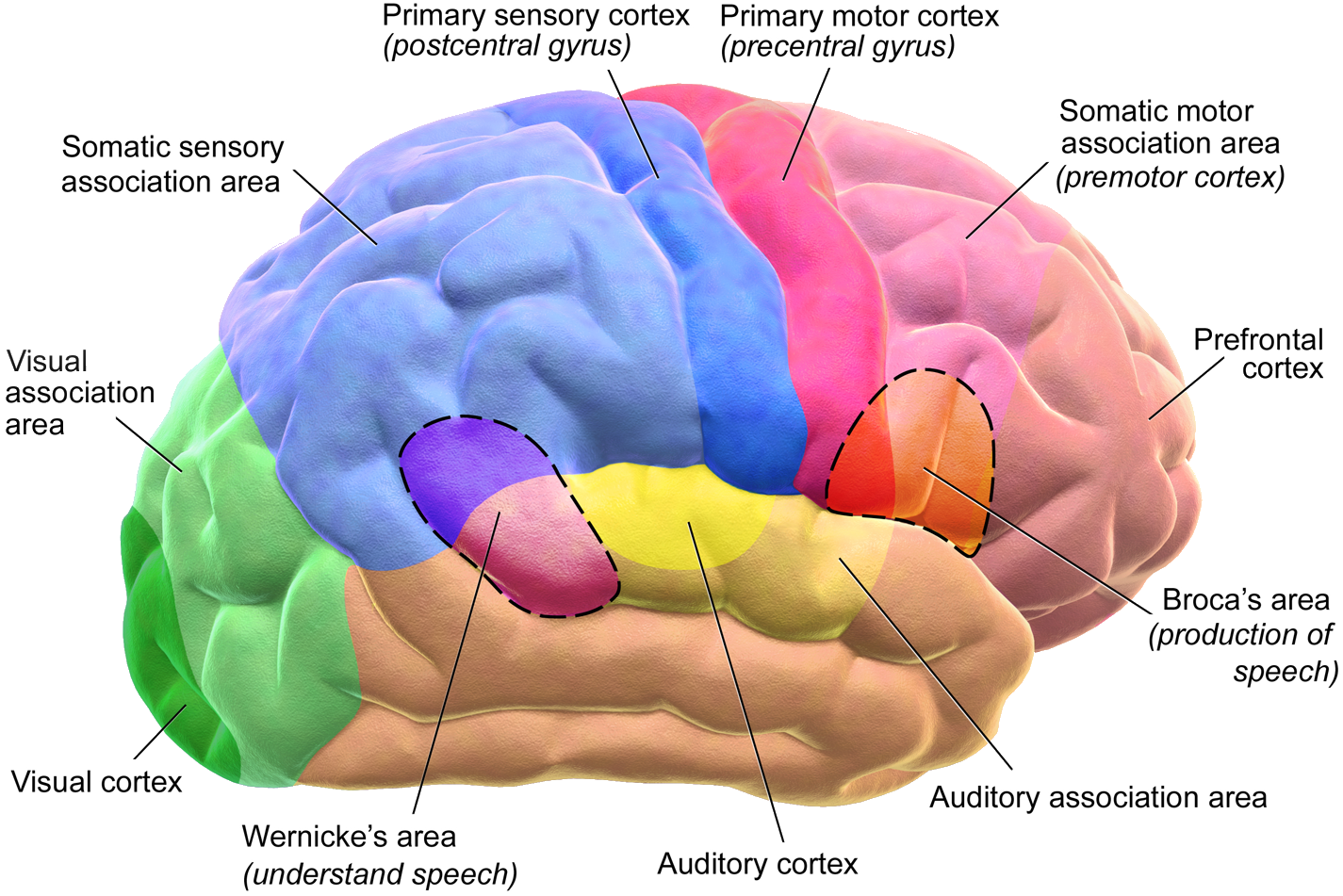 hight resolution of a diagram of the functional areas of the human brain
