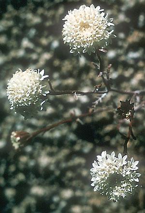 Chaenactis xantiana  Wikipedia