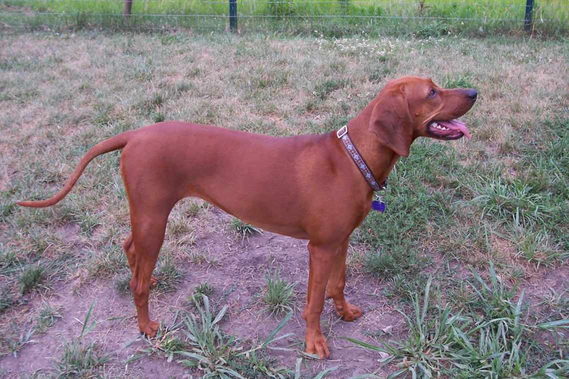 Lena the Redbone Coonhound Big Dog Pitbull Motorcycle