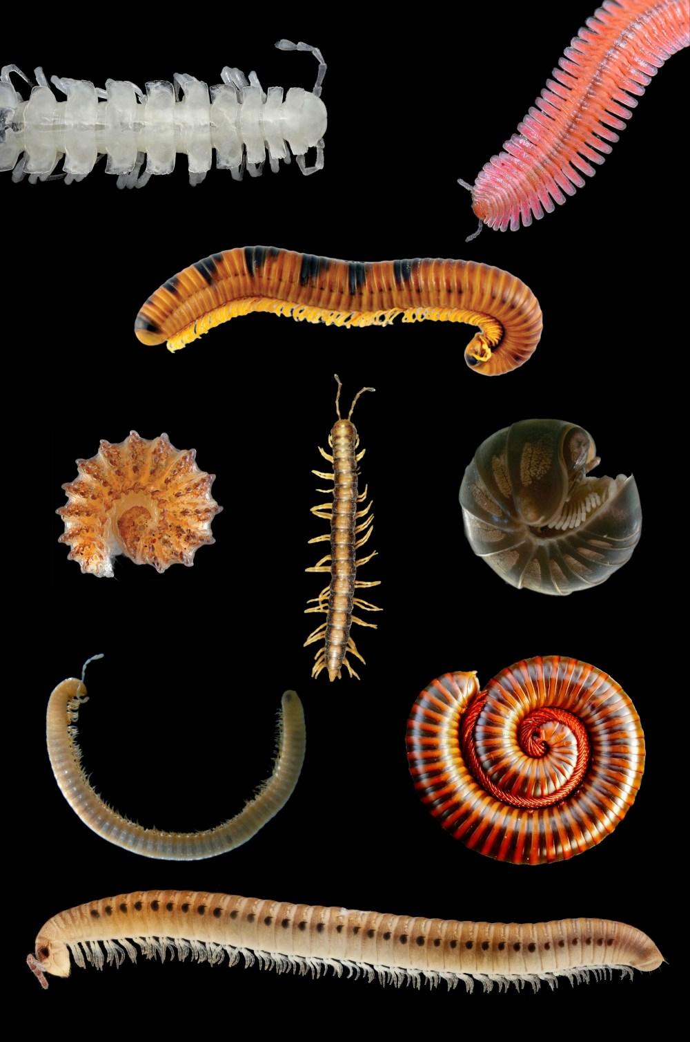 medium resolution of centipede diagram