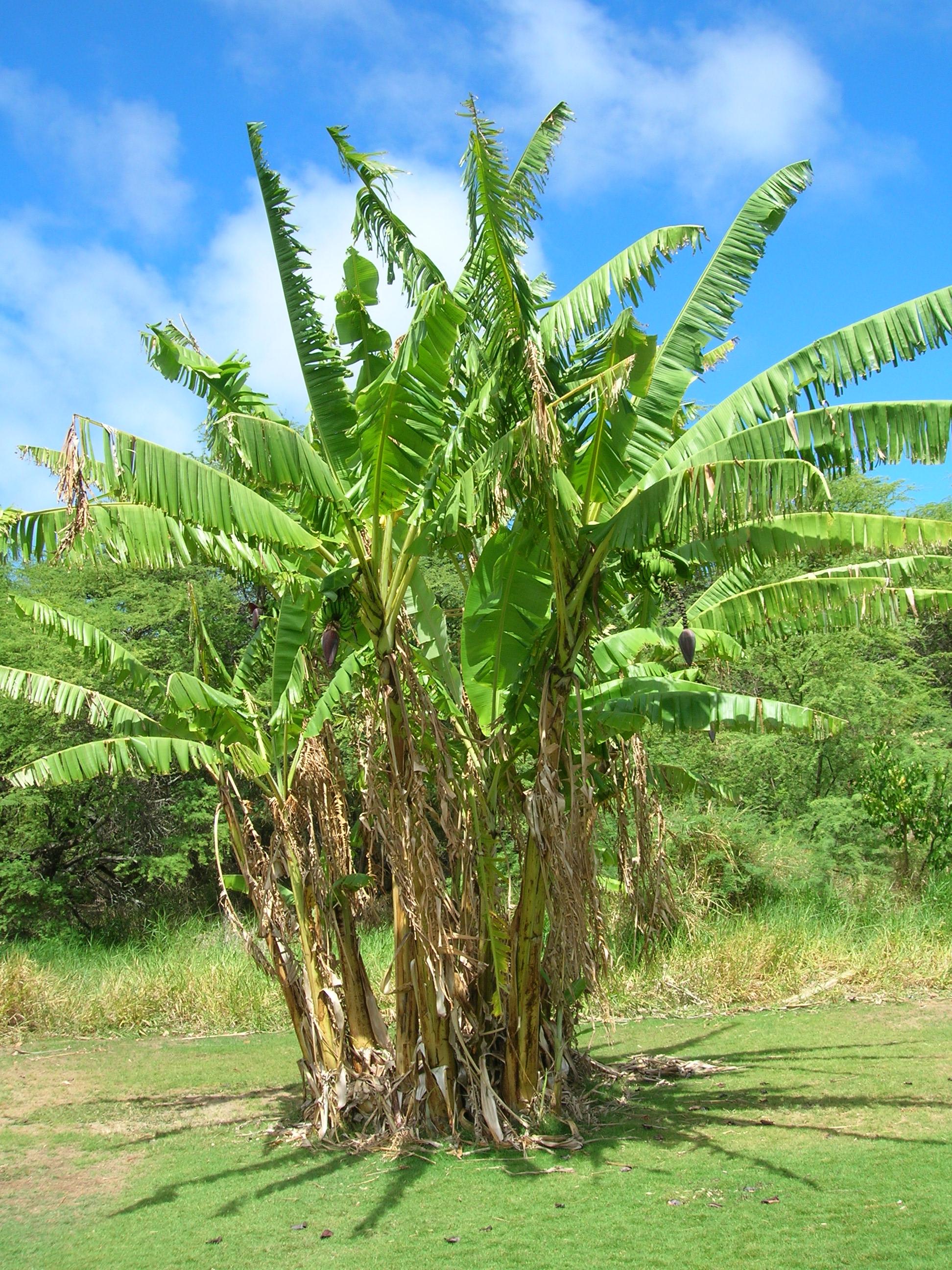 Ciri Ciri Pohon Pisang : pohon, pisang, Pisang, Wikipedia, Bahasa, Indonesia,, Ensiklopedia, Bebas