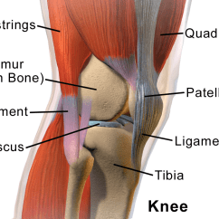 Front Leg Ligament Diagram Bmw X5 Parts Knee Wikipedia