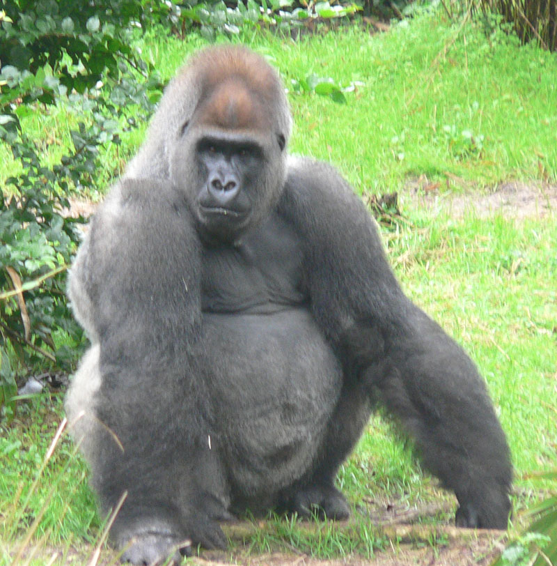 https://i0.wp.com/upload.wikimedia.org/wikipedia/commons/b/bc/Male_silverback_Gorilla.JPG