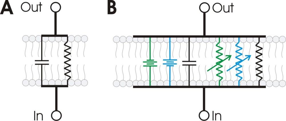 medium resolution of file rc membrane circuit jpg