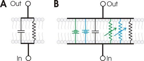 small resolution of file rc membrane circuit jpg