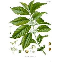 file diagram of coffea arabica jpg [ 800 x 1028 Pixel ]