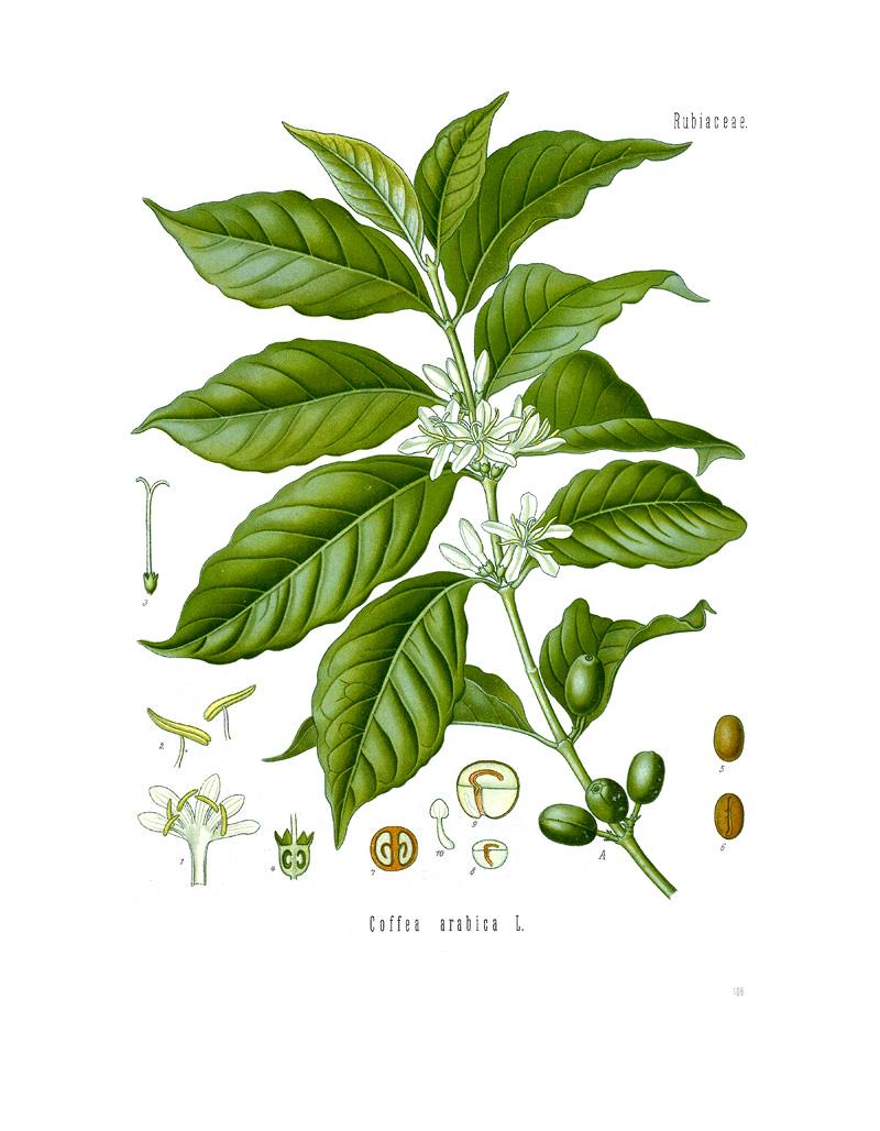 medium resolution of file diagram of coffea arabica jpg