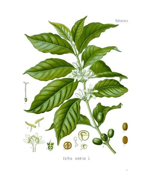 small resolution of file diagram of coffea arabica jpg
