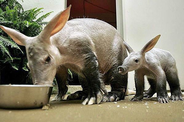 Mother and baby aardvark