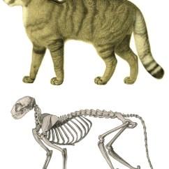 Cat Dissection Muscle Diagram Back 2000 Dodge Dakota Radio Wiring Anatomy Wikipedia