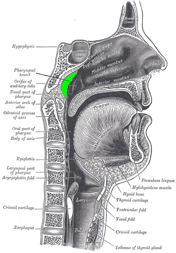 chimpanzee skull diagram what does nca mean on a wiring adenoid - wikipedia