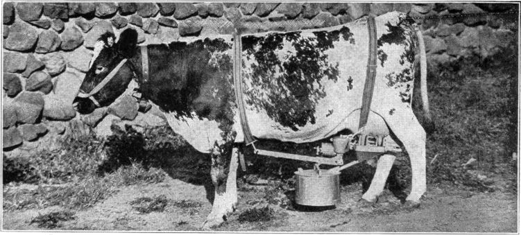Cow being milked with historic milking machine.