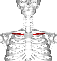clavicle anatomy diagram labeled [ 900 x 900 Pixel ]