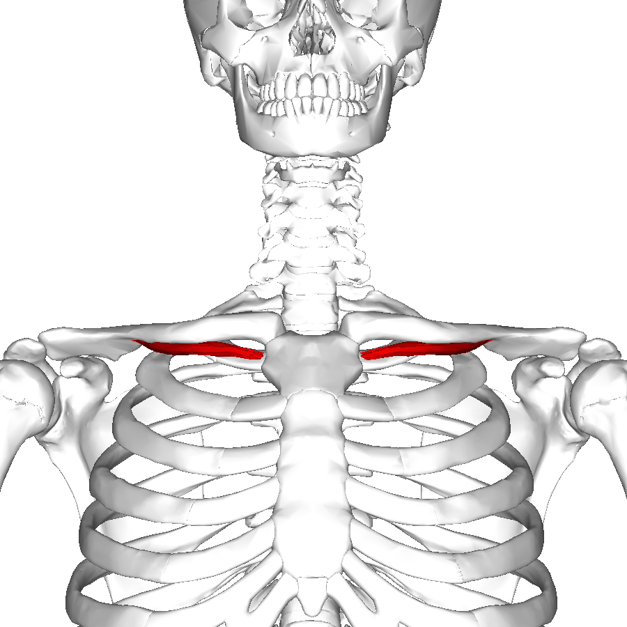 hight resolution of clavicle anatomy diagram labeled