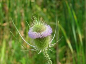 Image result for teasel
