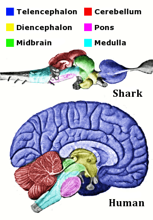 English: Main regions of the vertebrate brain,...