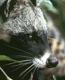 African Civet - Image via Wikipedia