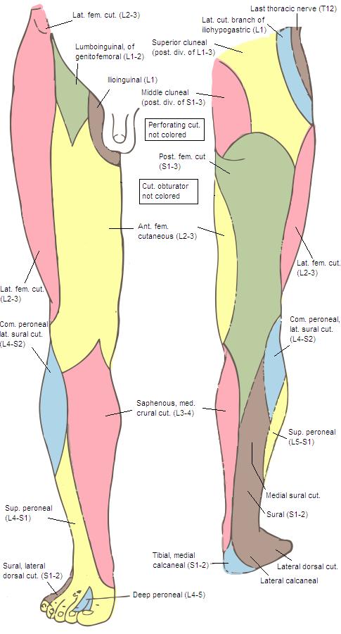 medial lower leg muscles diagram alpine car radio wiring sural cutaneous nerve wikipedia