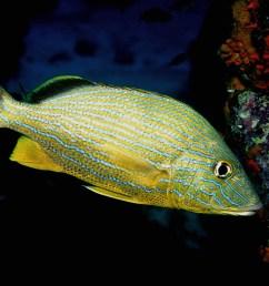 diagramma pictum fishbase [ 1200 x 800 Pixel ]