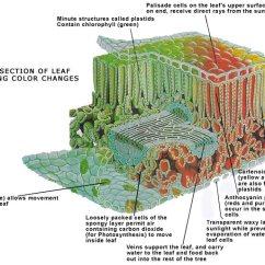Dicot Leaf Labeled Diagram Gm Wiring Legend Klorofyll – Wikipedia