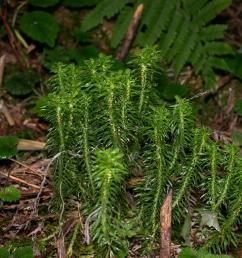 club mos plant diagram [ 1024 x 768 Pixel ]