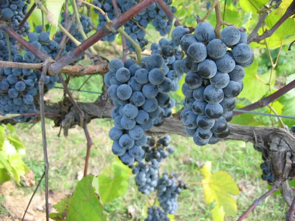 Norton grapes growing in Missouri.jpg