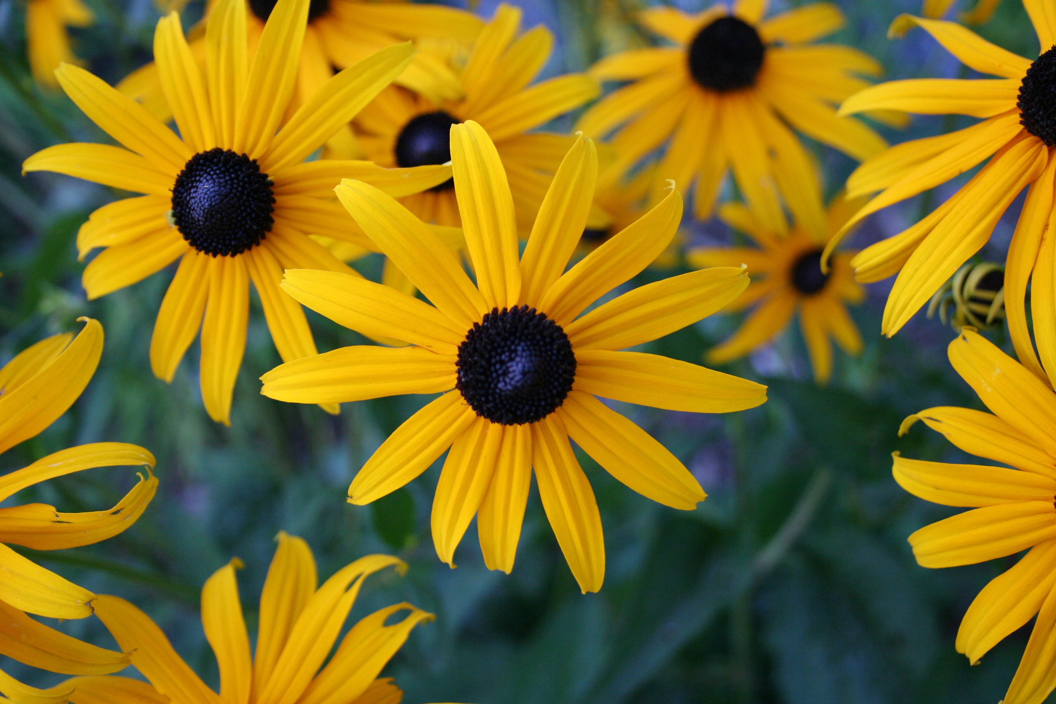 Rudbeckia Hirta Black Eyed Susan Plant Care Guide