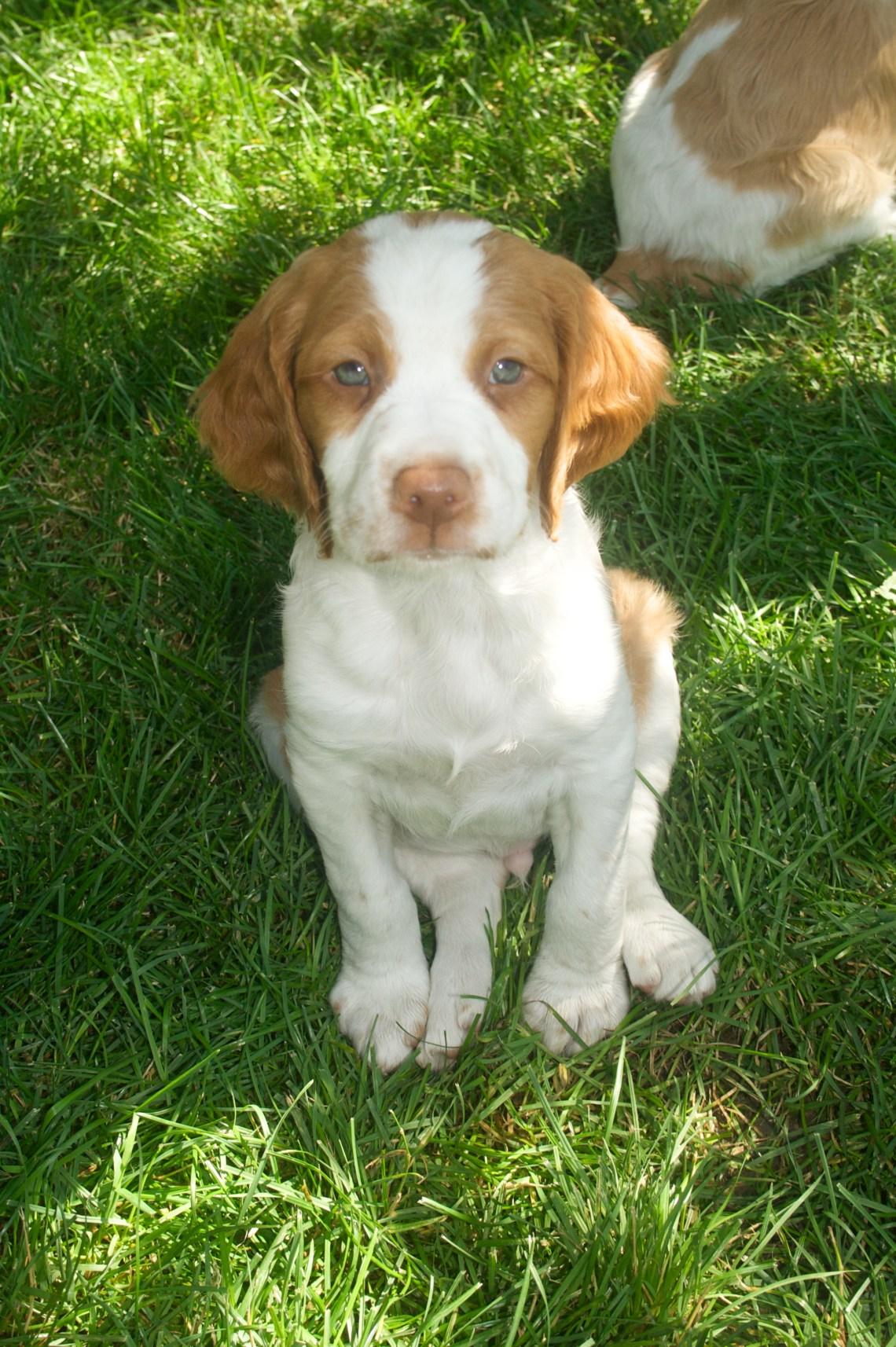 Brittany Puppy Cute Pitbull Dogs