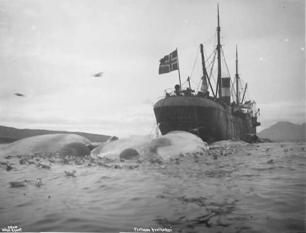 File:Bucentaur med hval - Bellsund 1906-08-17.jpg