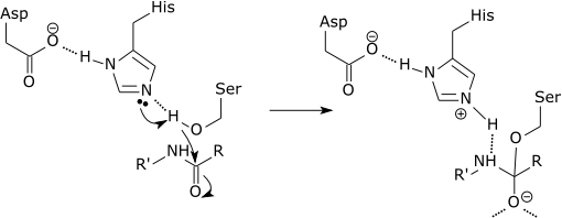 Catalytic triad of a serine protease