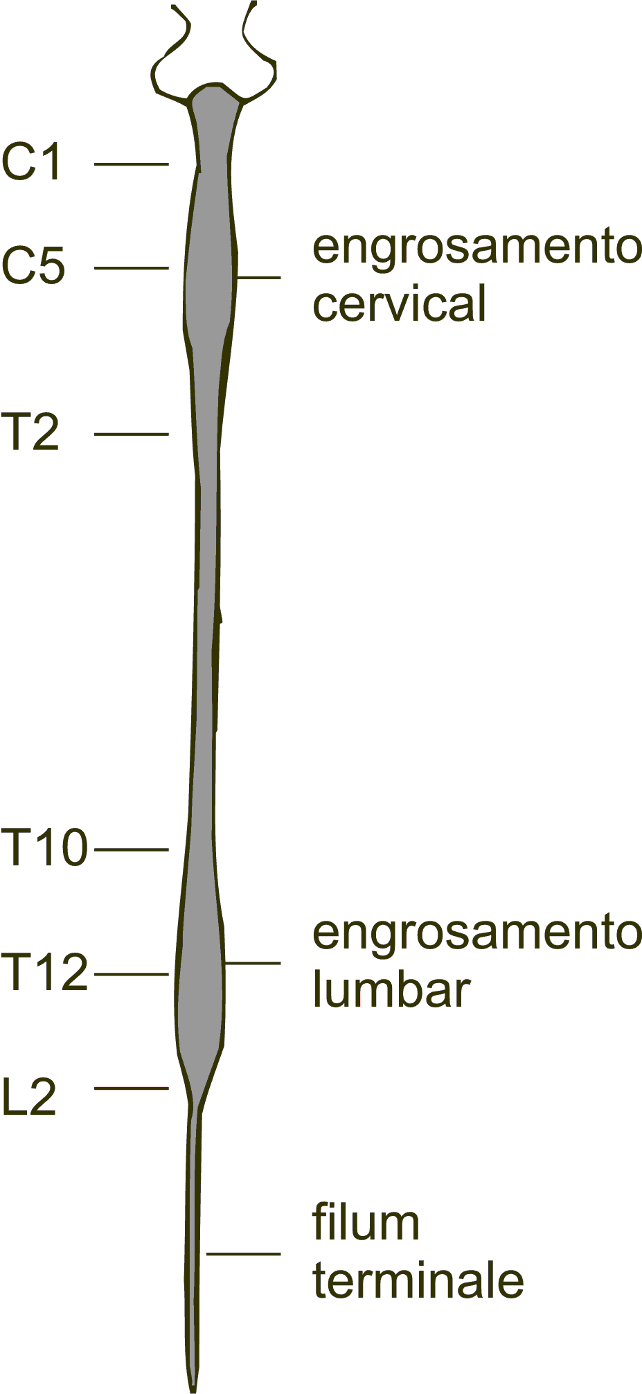 hight resolution of file spinal chord diagram dorsal view gl png
