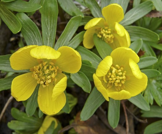 English: Winter Aconite (Eranthis hyemalis) Wi...