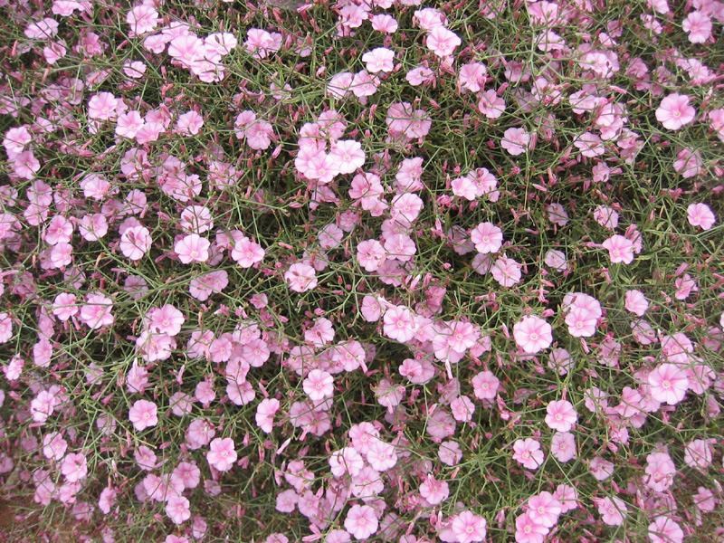Convolvulus dorycnium  Wikispecies