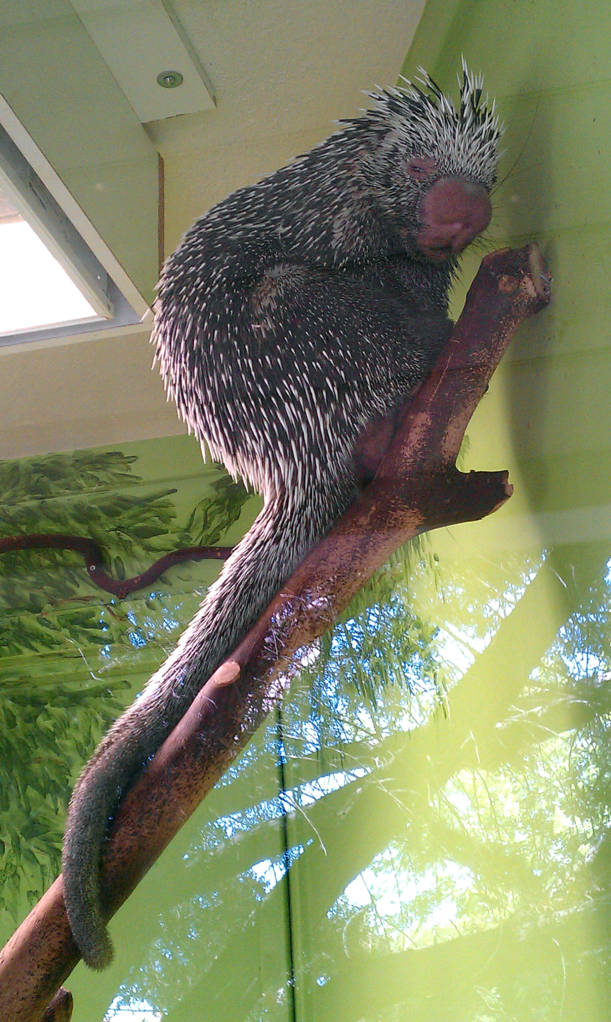 Prehensiletailed porcupine  Wikiwand