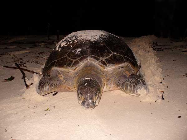 Green female turtle nesting on the beach