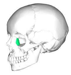 lacrimal bone diagram [ 900 x 900 Pixel ]