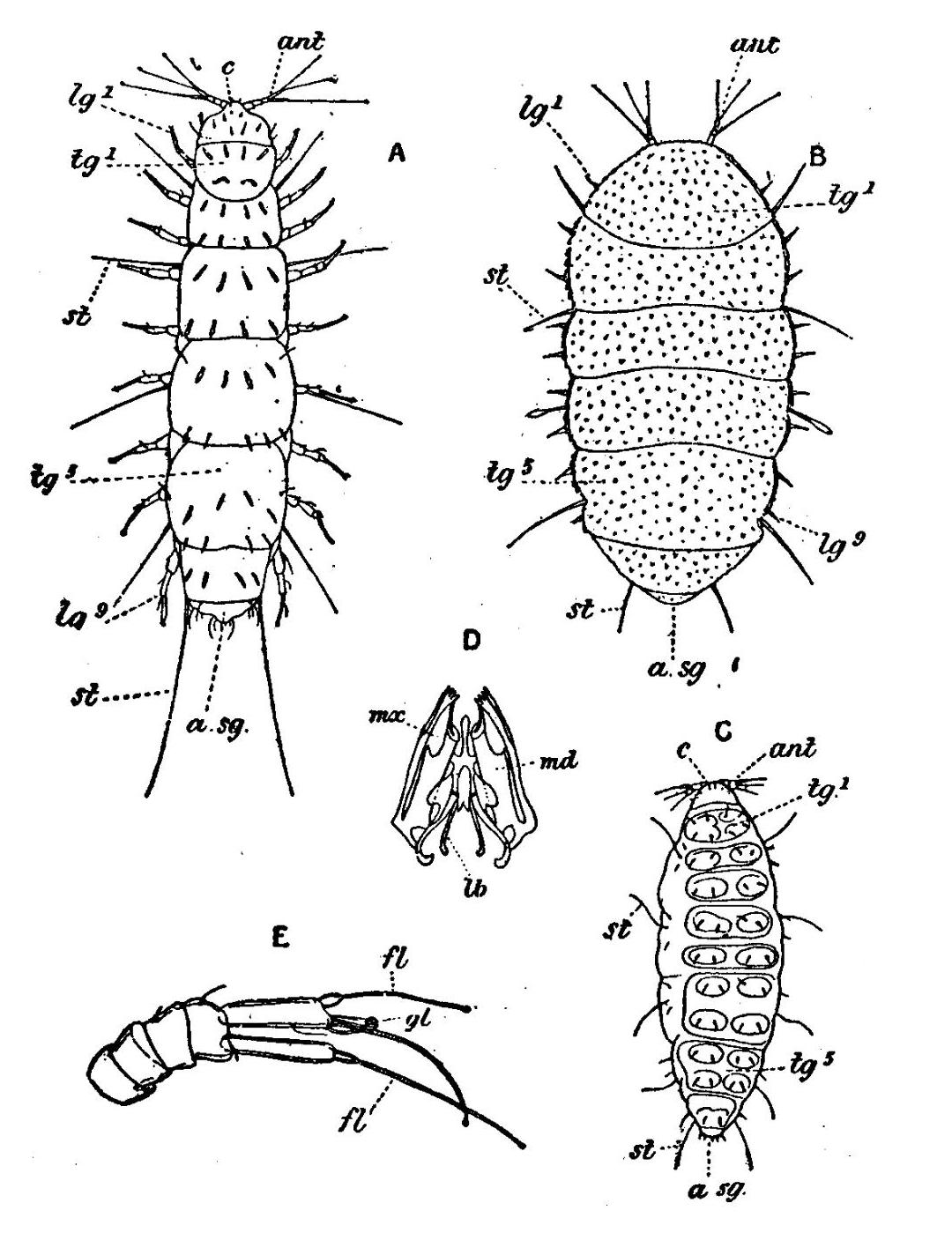 File Pauropoda Eb