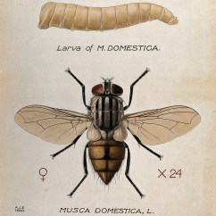 House Fly Anatomy Diagram Kc Daylighter Wiring Housefly Wikipedia Larva And Adult By Amedeo John Engel Terzi 1872 1956