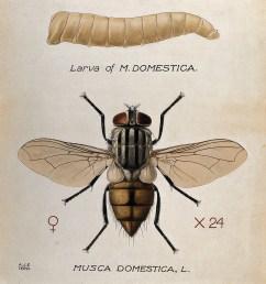 larva and adult by amedeo john engel terzi 1872 1956  [ 2628 x 2900 Pixel ]