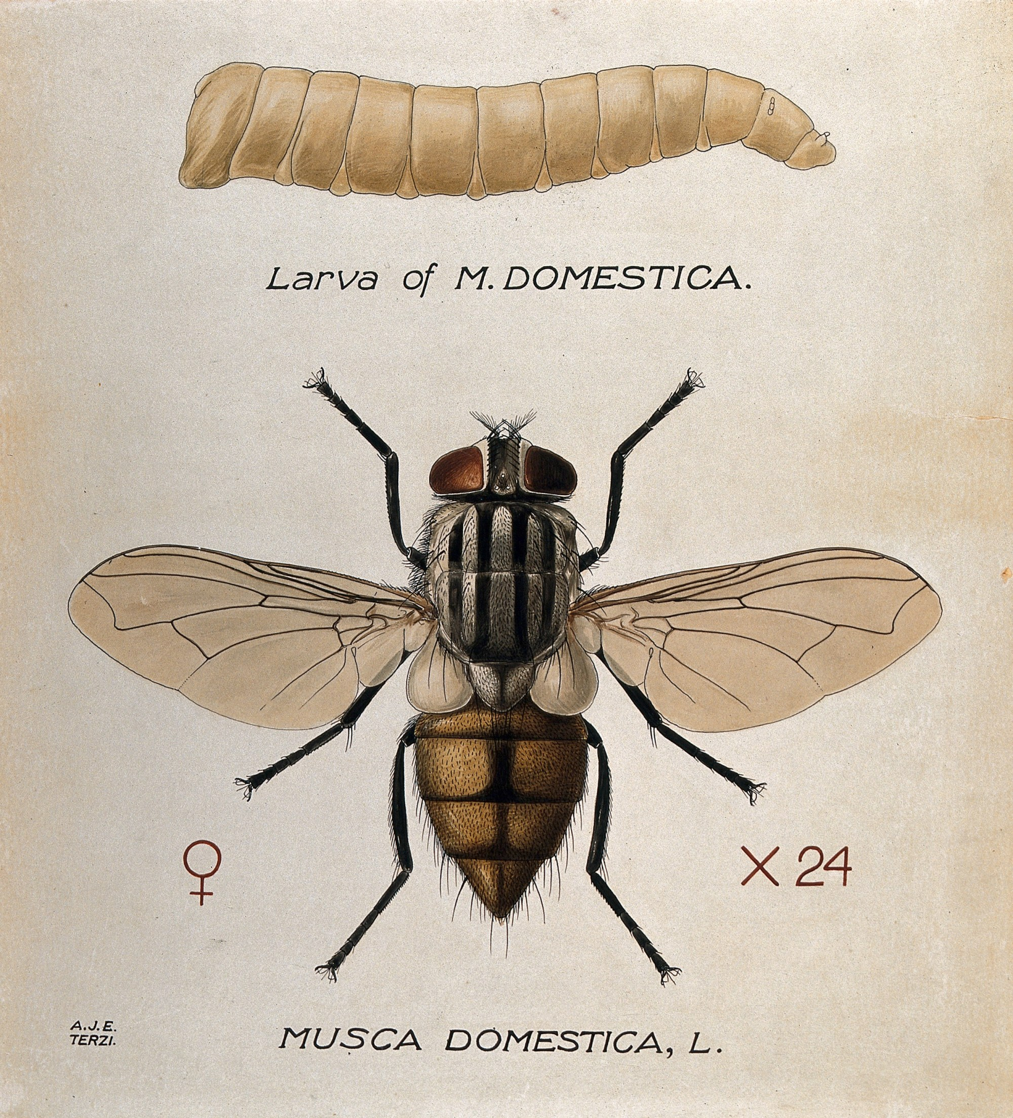 hight resolution of larva and adult by amedeo john engel terzi 1872 1956