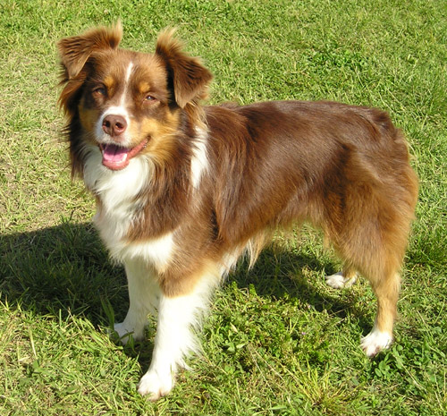 https://i0.wp.com/upload.wikimedia.org/wikipedia/commons/c/c7/Miniature_Australian_Shepherd_red_tricolour.jpg