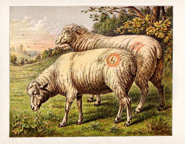 File:Free Sheep Drawing.jpg