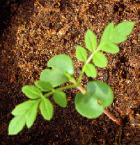 Jacaranda seedling about 10 days after germina...