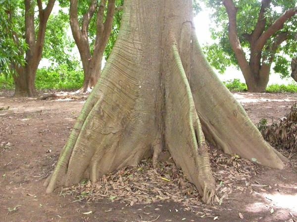 Buttress Roots Kapok Tree